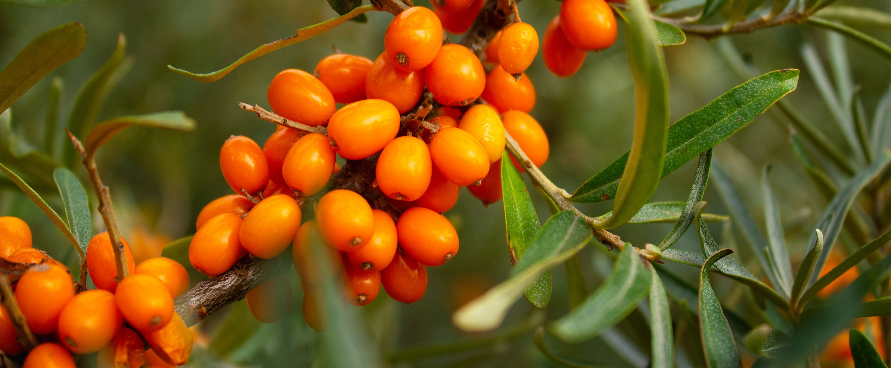 SWELL SKIN Sea Buckthorn Berry for Skincare