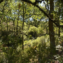 An image of a gloriously dense and vibrant native oak woodland in the north of Portugal.