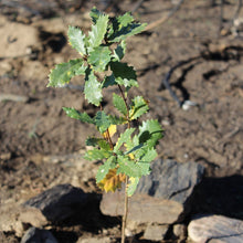 An image of an oak sapling at our wildfire restoration project. All birthday tree gift kits receive such a tree photo as well as its GPS coordinates.