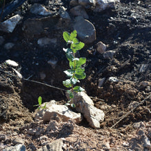 A young sapling at our wildfire restoration project. All of our eco friendly gifts plant the gift receiver 40 trees per year.