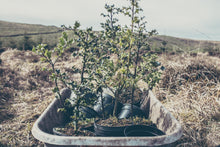 Tree Planting in Ireland - for Members