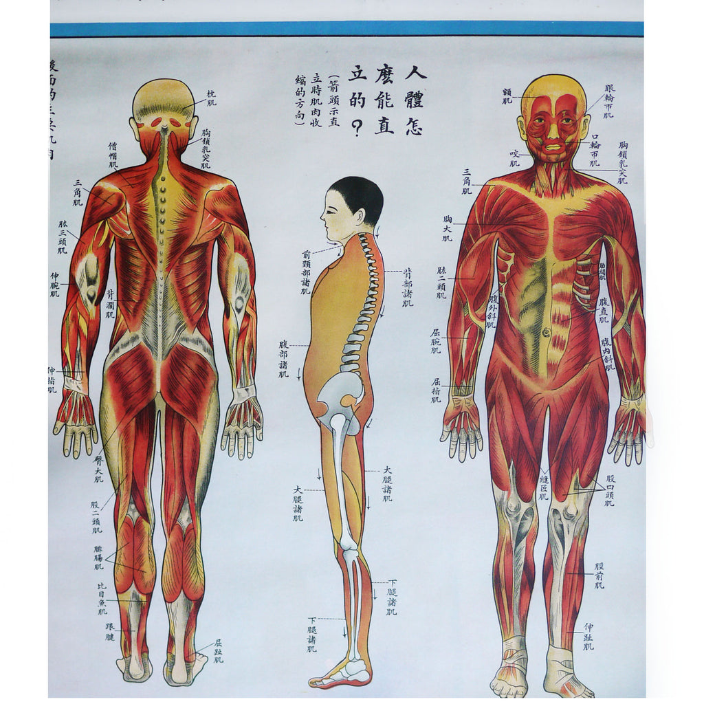 1930\'s Chinese Anatomy Posters – NowShopLA