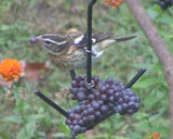 Erva Oriole & Suet Ball Feeder