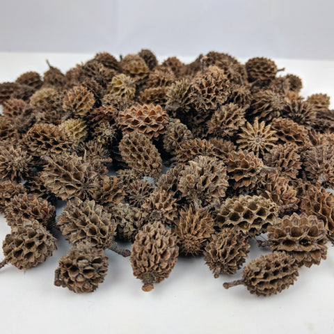 Indian Casuarina Cones - (Per Ounce)