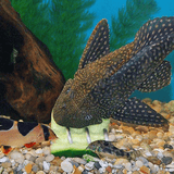 Screwcumber Pleco Feeder Twin Pack