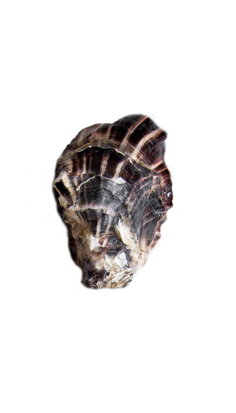 Pacific Jewel Oyster