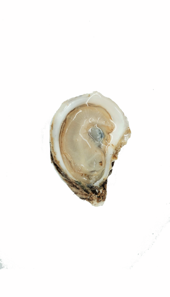 Honeymoon Oyster