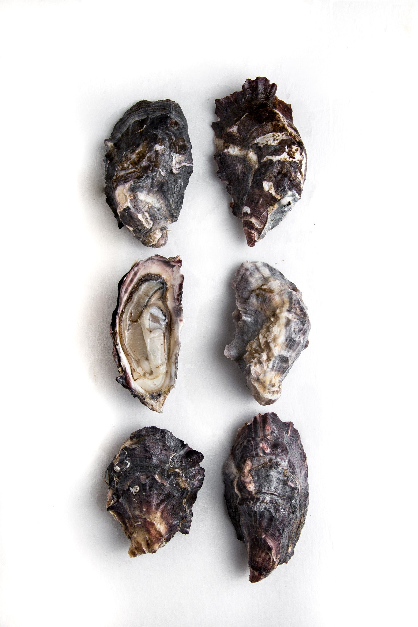 Apex Oyster