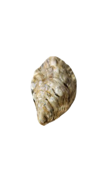 Kusshi Oyster