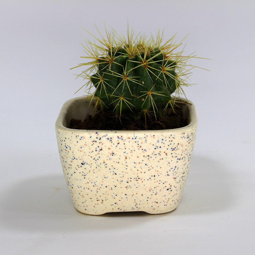Beautiful White Dotted Matte Ceramic Table Top Planter (With Organic Soil)
