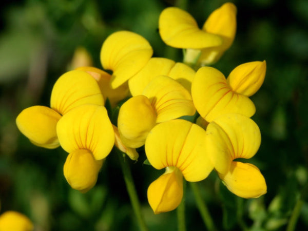 Birds Foot Trefoil