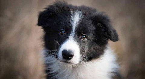 Collie Puupy GoMine