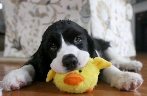 First Time Puppy, Play With Toy, GoMine