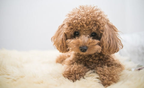 Poodle Puppy GoMine
