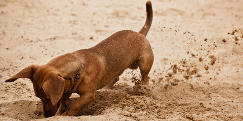 Dog playing in dirt | GoMine