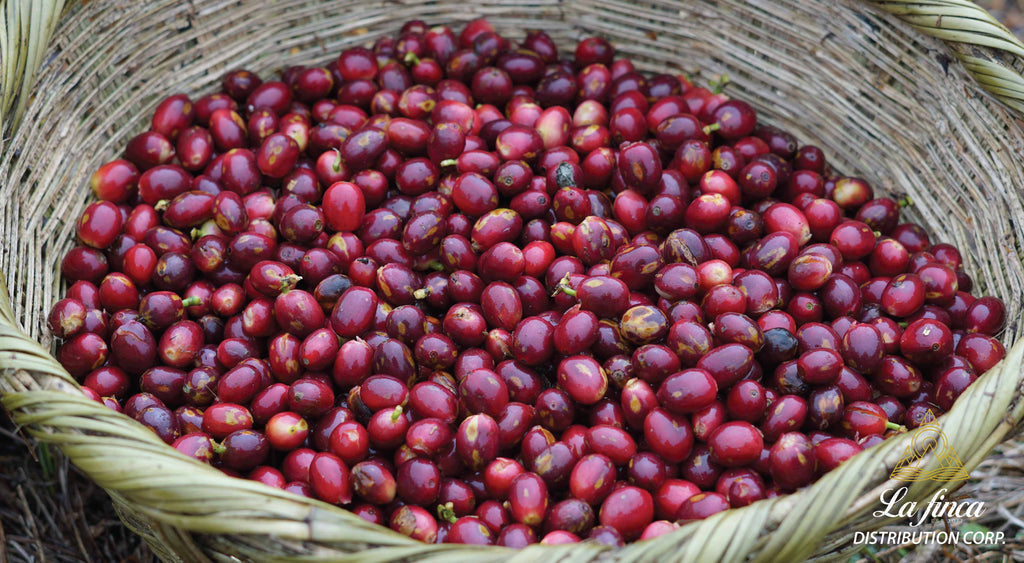 La Finca Distribution Corp Specialty Coffee Picking Blog Paraneima Red Coffee Cherries Nicaraguan Coffee Importer