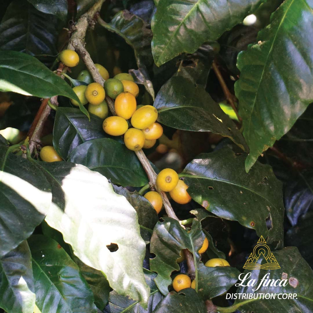 Washed Yellow Pacamara - Finca La Huella