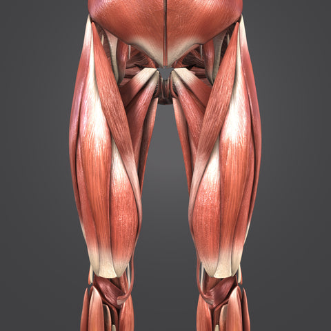 Lower limbs muscle anatomy anterior view 3d illustration