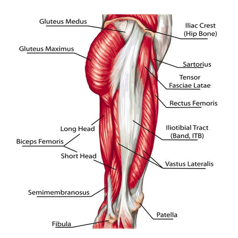 didactic board of anatomy of leg human muscular system