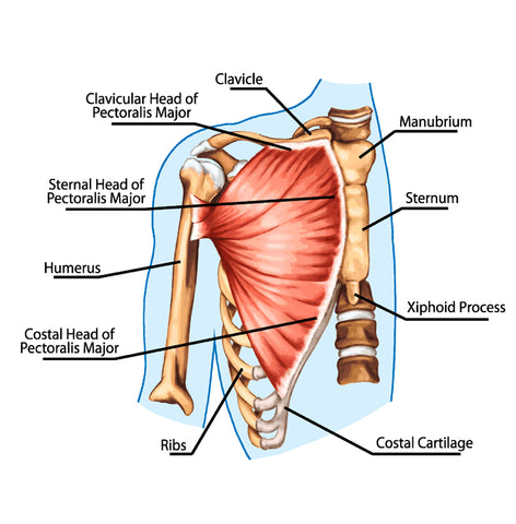 didactic board of anatomy of human muscular system