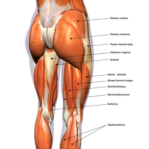 anatomy chart of posterior leg muscles