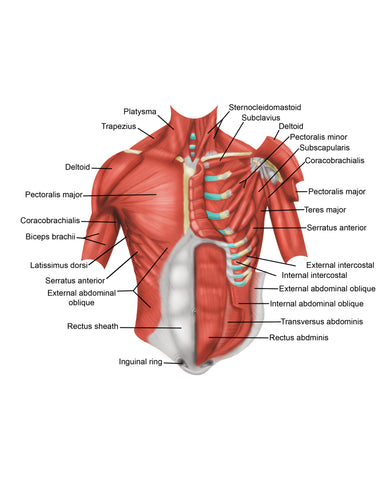 chest muscles anatomy chart