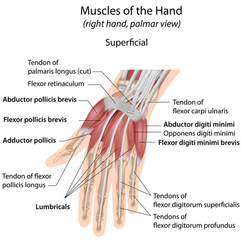 Hand muscles palmar aspect superficial labeled