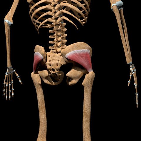 3d illustration shows the gluteus minimus muscles on skeleton