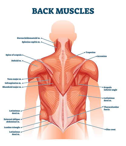 Back muscles labeled anatomical educational body scheme