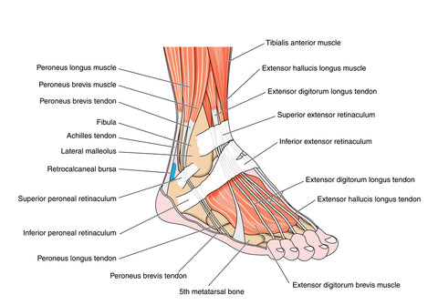 Tendons and muscles of the foot and ankle, including the bones, attachments and retinaculae.