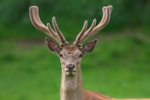 Does deer antler velvet actually work?