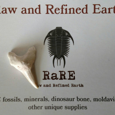 Moroccan Shark Tooth Fossil