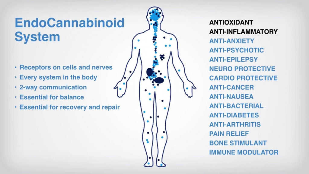 Your Endocannabinoid System Made Simple