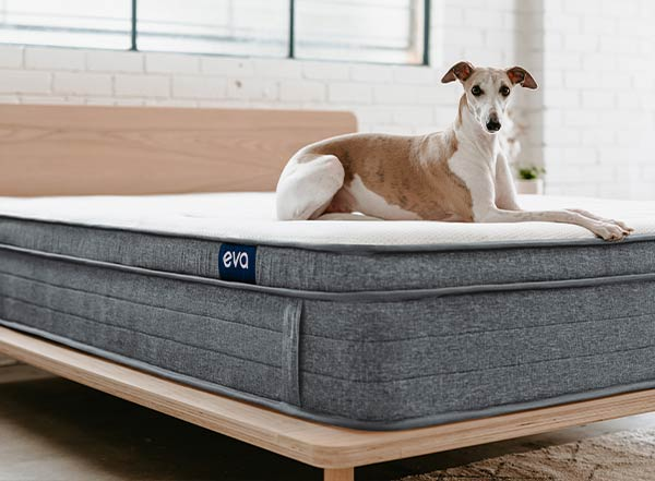 Dog sitting on Eva Mattress and Eva Timber Bed base