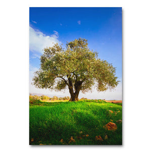 Olive Tree of Israel - Large Gallery Wrapped Canvas Art