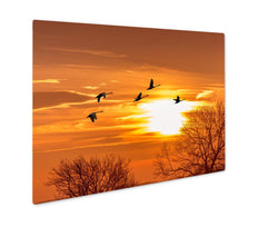Metal Panel Print, Flock Of Sandhill Crane During Autumn Or Spring Migration