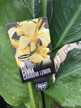 Canna Cannons Lemon 140mm