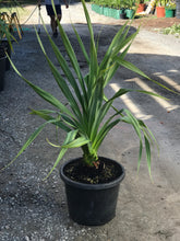 Pandanus - 400mm pot