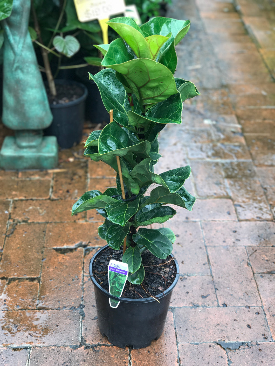 Fiddle Leaf Fig Bambino - 200mm pot
