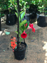 Mandevilla Firestorm - 140mm pot