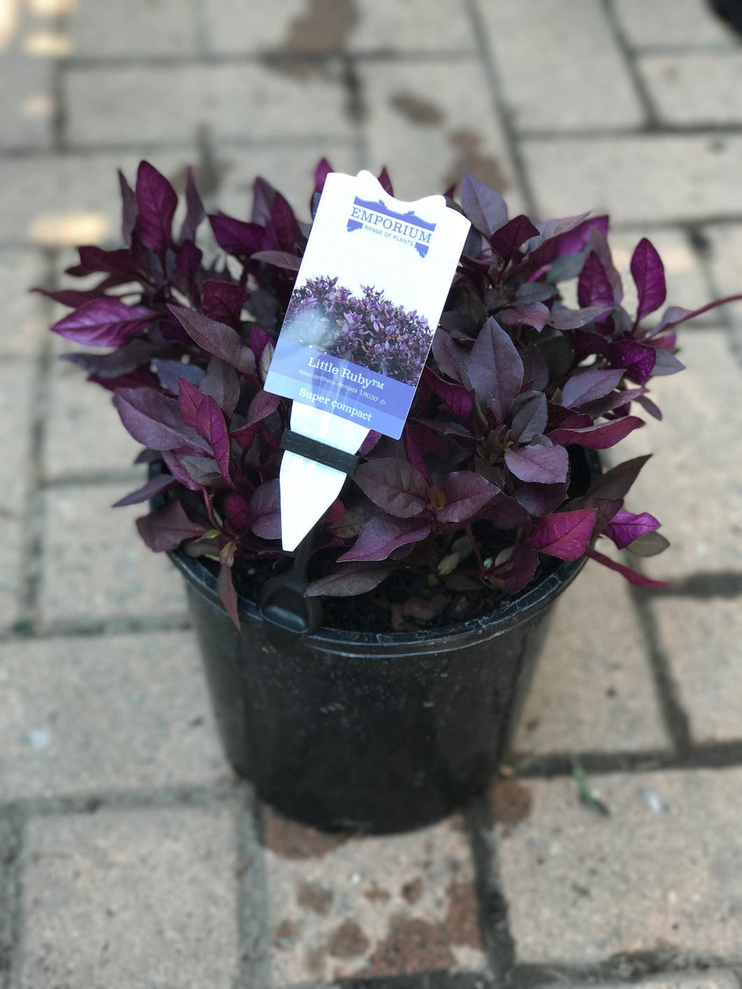 Alternanthera Little Ruby - 200mm pot