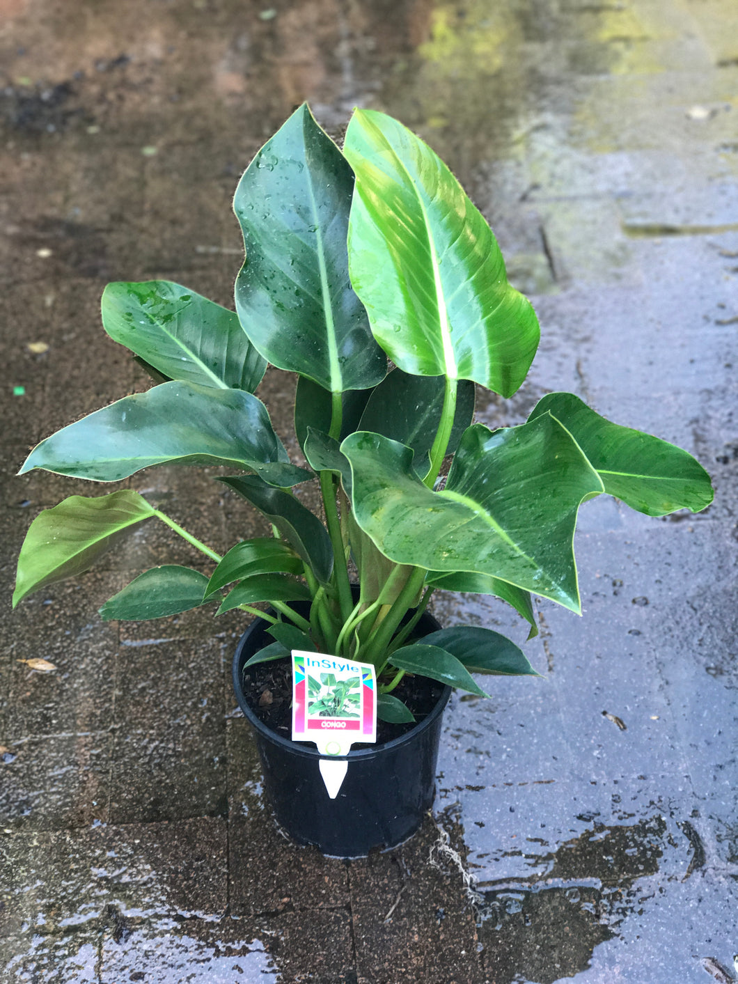 Philodendron Congo - Advanced 200mm pot