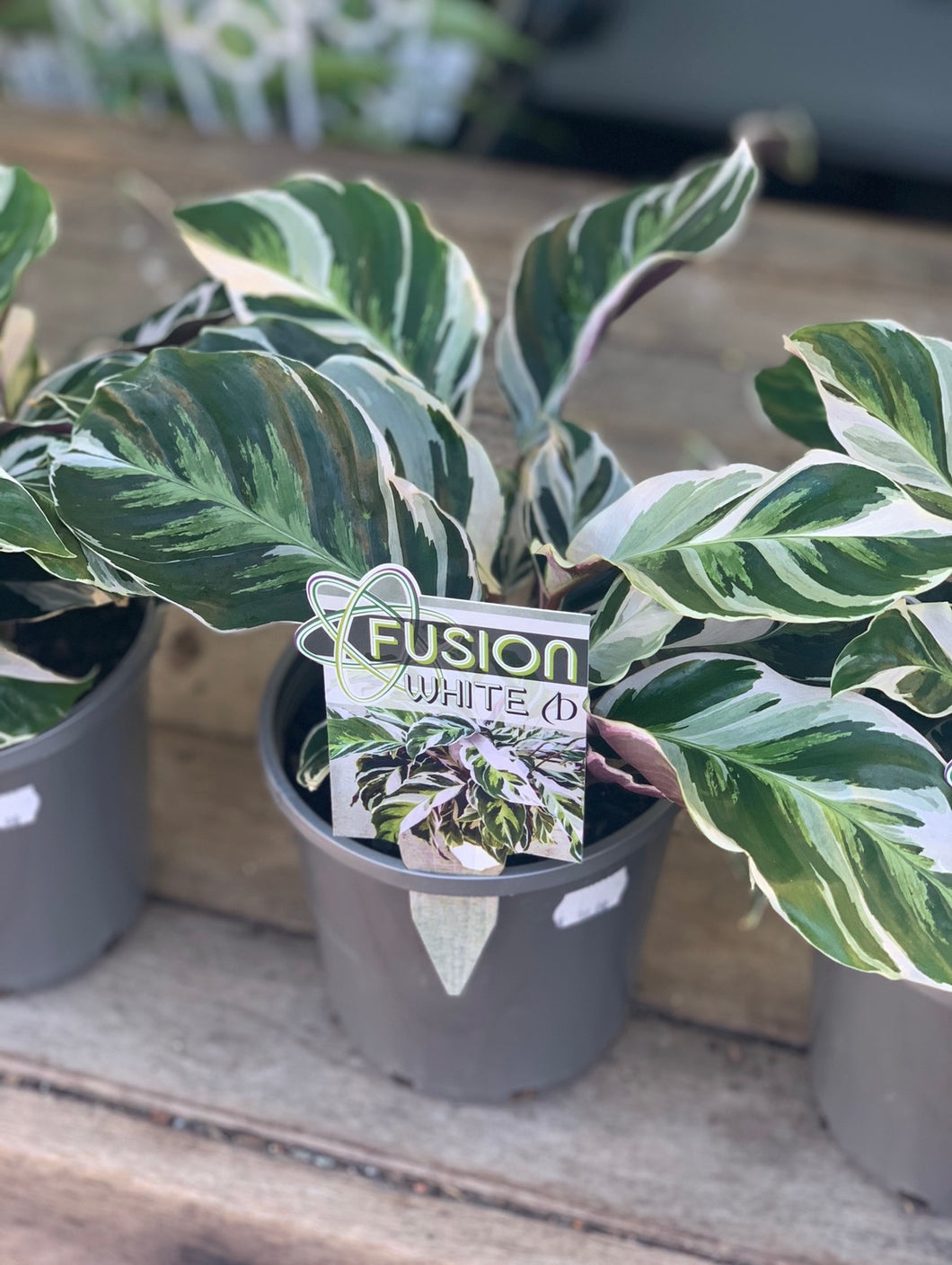 Calathea White Fusion - 140mm pot