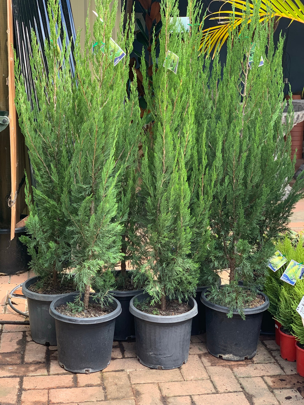 Conifer Spartan - Super Advanced 330mm pot