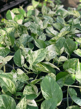 Marble Queen Pothos - 130mm