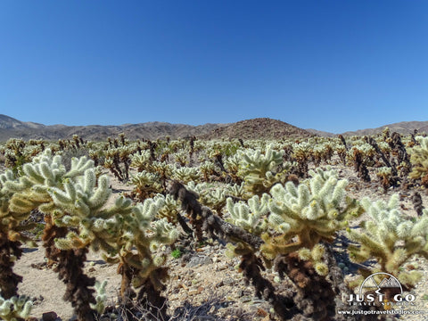 Just Go to Joshua Tree National Park – Cholla Cactus Garden