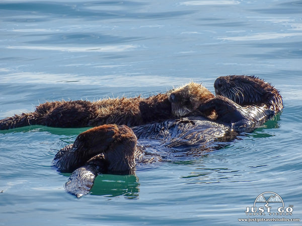 Sea Otters sleeping in Morro Bay