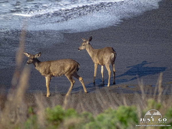 Deer in Point Lobos State Natural Reserve