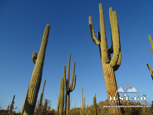 Saguaros in Saguaro National Park