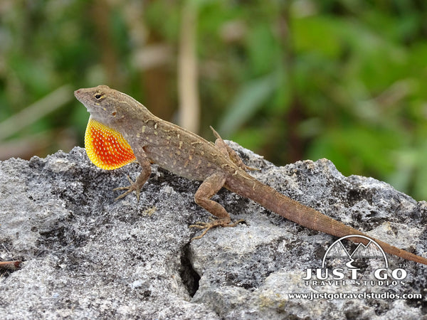 Lizard in Everglades National Park